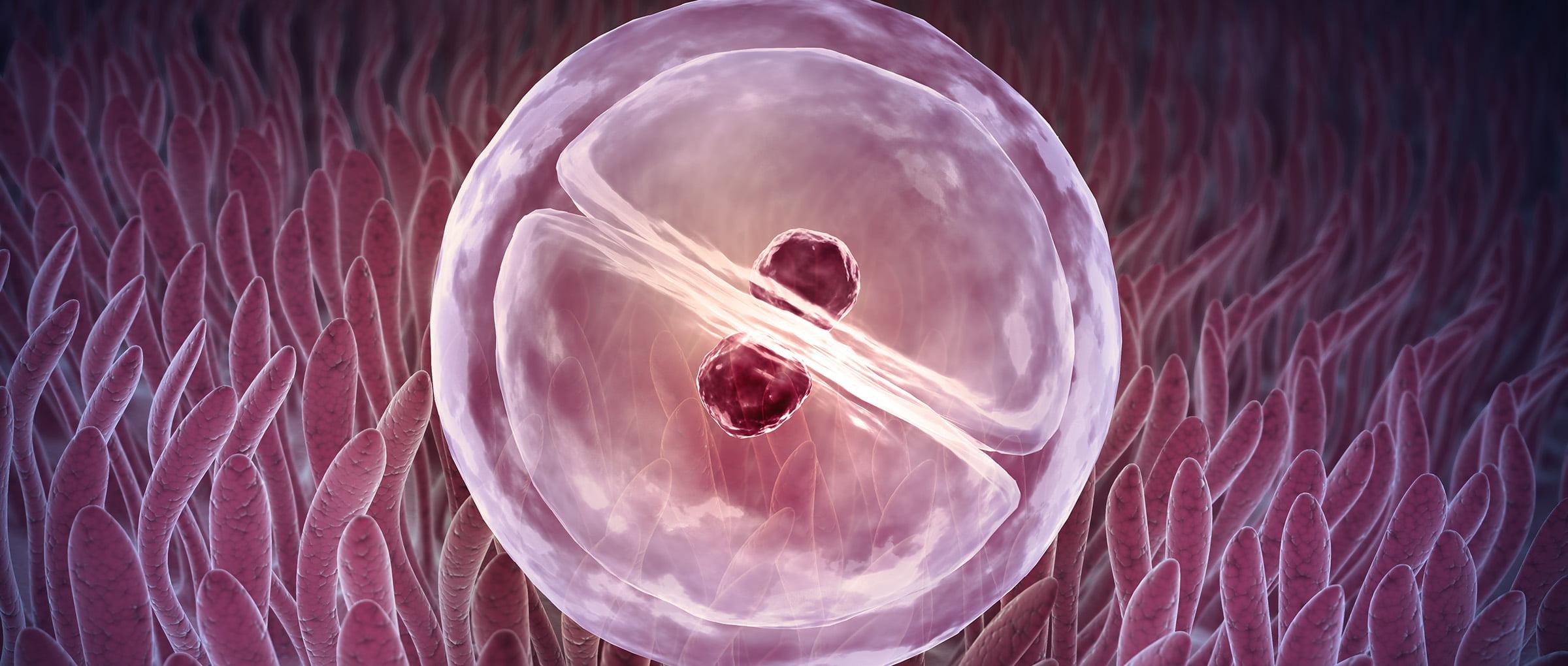 Fissazione dell'embrione nell'utero